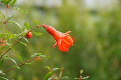 DSC00564 (dreptacz) Tags: kwiat polska natura sony palmiarnia zielony czerwony roślina lustrzanka przyroda slt macro ngc