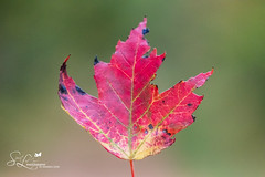 Singularity (amndcook - back from another another amazing getaw) Tags: photo autumn color season nature leaf amandacook latesummer red photograph wildlife outside flowersplants outdoors michigan fall pentax earlyfall spiritledphotography leaves maple colorful green yellow