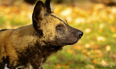 Warmth of October (naturfarbeberlin) Tags: wilddog african wild dog lycaon pictus zoo berlin autumn fall herbst wildhund