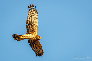 Northern Harrier [Explored]