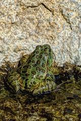 chiricahuan frog (JoelDeluxe) Tags: arizonasonora desert museum tucson az joeldeluxe cacti heat plants wildlife zoo botanical garden minerals displays gardens birds