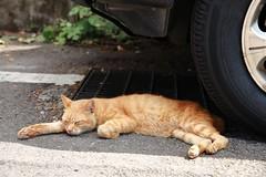 Sleeping Cat (superzookeeper) Tags: 5dmk4 5dmkiv canoneos5dmarkiv ef2470mmf28liiusm eos digital taiwan hsinchu tw formosa beipu cat catsofflickr catsoftaiwan catsofbeipu zzz sleep sleeping sleepingcat ginger gingercat nap over1000views oldtownbeipu oldtown free freedom street favorites catnap