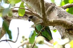 Brown-headed Parrot (zimbart) Tags: africa mozambique gorongosanationalpark chitengo fauna vertebrata aves birds psittaciformes psittacidae poicephalus poicephaluscryptoxanthus