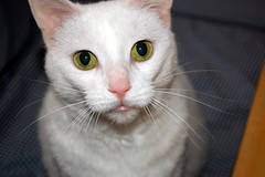 Peaches. (dccradio) Tags: lumberton nc northcarolina robesoncounty inside indoors cat meow feline animal domesticanimal pet kitty peach peaches nikon d40 dslr project365 photooftheday photo365