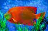 Red Swimmer (bethrosengard) Tags: bethrosengard photomanipulation digitallyenhanced photoart digitalmagic digitalart