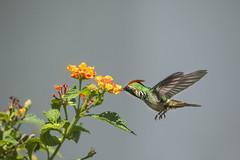 Topetinho-vermelho - Lophornis magnificus - Frilled Coquette. (Carlos Vieira.) Tags: topetinhovermelho lophornismagnificus frilledcoquette bird lantanaflowers bokeh hummingbird itatiaia