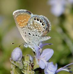 Western Pygmy-Blue (birding4ever) Tags: 5 westernpygmyblue brephidiumexile