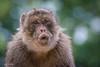 2017-07-31-0213 (BZD1) Tags: barbarymacaque macaca mammal animal primates cercopithecidae berberaap apenheul aap monkey natuur nature