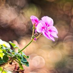 _DSC9820_v1 (Pascal Rey Photographies) Tags: fleurs flores flower flowerpower nature country outdoor nikon d700 digikam digikamusers luminar drôme drômedescollines blumen