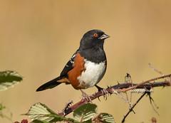 DB7_3391 (DouglasJBrown) Tags: spottedtowhee birdsinbc djbphoto nature nikonafsnikkor300mmf28gedvrii
