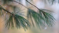Rainy day in the forest (pszcz9) Tags: przyroda nature natura zbliżenie closeup sosna pine drzewo tree kropla raindrop gałąź branch bokeh samyang beautifulearth sony a77 rogów arboretum