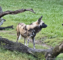 African Painted Dog (Harry Rother) Tags: dog african