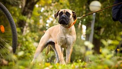 On look out (zola.kovacsh) Tags: outdoor animal pet dog wood forest forrest mártély english mastiff fall autumn littledoglaughedstories