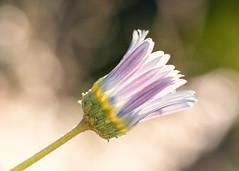 Daisy (mclcbooks) Tags: flower flowers floral macro closeup daisy daisies denverbotanicgardens colorado