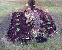 Progress (diffuse) Tags: garden weeded flowerbed birch forgetmenots daisy rose grass lawn leaves autumn sedum anemones compost