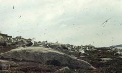 Gullery on Samson Island, Scilly (Mary Gillham Archive Project) Tags: 22512 bird england herringgull island landscape larusargentatus larusfuscus lesserblackbackedgull sv8712 samson scillyisles unitedkingdom gb