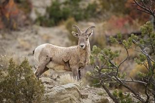 Big Horn Ewe...