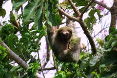 Sloth/ Faultier/ La Fortuna III (sandrella2706) Tags: costarica lafortuna mysticopark elarenal centralamerica