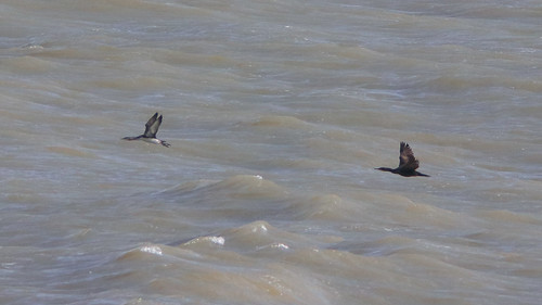 Diver and Cormorant