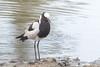 Blacksmith Lapwing (mayekarulhas) Tags: krugerpark mpumalanga southafrica za bird avian wildlife canon lapwing blacksmith krugernationalpark