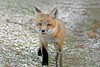 Curiouser and Curiouser (marylee.agnew) Tags: red fox vulpes canine curious cute baby close sweetie pie young nature wildlife outdoor