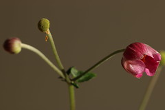Various stages of life (AngharadW) Tags: stem angharadw pink light pollen flower ranunculucaea anemone 3 three
