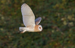 Barn Owl (KHR Images) Tags: barnowl barn owl tytoalba wild bird birdofprey hunting flying inflight goldenhour cambridgeshire fens wildlife nature nikon d500 kevinrobson khrimages