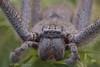 Huntsman Spider (Sparassidae) (Malcom Lang) Tags: sparassidae huntsman spider insect animalia arachnid arthropoda chelicerata arachnida araneae araneomorphae 8 eyes legs hairy fangs canoneos6d canon canon6d canonef canon180mm canon180mmefmacro macrodreams macro 180macro lens180macro southaustralia southern south southernaustralia southerneyrepeninsula eyrepeninsula eyre lowereyrepenninsula mal lang photography australia australian aussie