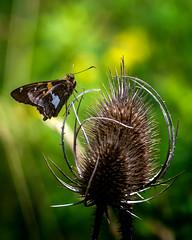 Got-a Grip (Portraying Life, LLC) Tags: da3004 hd14tc k1 michigan pentax unitedstates butterfly closecrop flower handheld nativelighting skipper