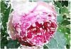 O Mensch, bedenk allzeit (amras_de) Tags: rose rosen ruža rosa ruže rozo roos arrosa ruusut rós rózsa rože rozes rozen roser róza trandafir vrtnica rossläktet gül blüte blume flor cvijet kvet blomst flower floro õis lore kukka fleur bláth virág blóm fiore flos žiedas zieds bloem blome kwiat floare ciuri flouer cvet blomma çiçek zeichnung dibuix kresba tegning drawing desegnajo dibujo piirustus dessin crtež rajz teikning disegno adumbratio zimejums tekening tegnekunst rysunek desenho desen risba teckning çizim
