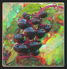 Pokeweed Berries Final Days 1 - Anaglyph 3D (DarkOnus) Tags: pennsylvania buckscounty huawei mate8 cell phone 3d stereogram stereography stereo darkonus closeup macro pokeweed berries final days american phytolacca americana weed chacha ttw anaglyph