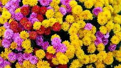 Multitude (YᗩSᗰIᘉᗴ HᗴᘉS +13 000 000 thx) Tags: flora flower 7dwf fleur fleurs color many yellow red pink colorful hensyasmine