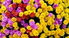 Multitude (YᗩSᗰIᘉᗴ HᗴᘉS +11 000 000 thx❀) Tags: flora flower 7dwf fleur fleurs color many yellow red pink colorful hensyasmine