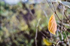 Leaf going to leave (*Capture the Moment*) Tags: 2017 bokeh firstshot mog meyeroptikgörlitzprimoplan1958neo primoplan primoplan1958neo sonya7m2 sonya7mii sonya7mark2 sonya7ii sonyilce7m2 test testshot bokehlicious