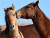 FUN ENCOUNTERS (Aspenbreeze) Tags: wildhorses horses equine wildlife wildanimal coloradowildlife horse colt stallion nature rural country sandwasbasinwildhorserange bevzuerlein aspenbreeze moonandbackphotography