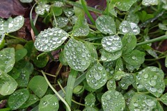 Clover in a Gentle Rain (btusdin) Tags: 7daysofshooting week18 nature geometrysunday waterdrops clover