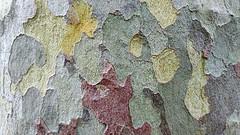 Loud Bark! (beckygiovine) Tags: beautiful vibrant bright bold loud unique red yellow green closeup unusual england uk eastbourne nature coloful bark tree