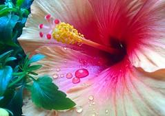 wet petal (Mr.  Mark) Tags: flower water drop color colour macro plant nature stock photo markboucher