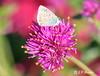 COMMON BLUE BUTTERFLY | PAPILLON ARGUS BLEU | ARGUS AZURE | POLYOMMATUS ICARUS | MONTREAL | QUEBEC | CANADA (J.P. Gosselin) Tags: common blue butterfly | papillon argus bleu azure polyommatus icarus montreal quebec canada canon7dmarkii canon 7dmarkii 7d markii mark ii canoneosrebelt2i canoneos7d canon7d eos7d canoneos eos rebel t2i ph:camera=canon mirabel qc kamloops bc british columbia gomphrena pulchella fireworks amaranthaceae bachelor button globe amaranth globosa entomologist adonis america north