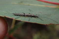 Stonefly  Dinotoperla sp. (gadims) Tags: insects tasmania centralhighlands