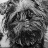 Dennis (bigbluewolf) Tags: affen affenpinscher black blackandwhite blackwhite puppy puppies dog dogs nikon sigma 18250 18250mm d7000