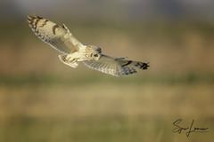 Velduil 20067 (Sjors loomans) Tags: bird birds prey nature natuur natuurfotografie outdoor owl owls roofvogels short eared velduil vogel wildlife sjors loomans holland