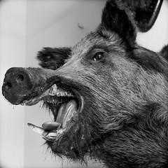 pig (liometal87) Tags: empaillé tournai sanglier pig wildpig tête chasse hunt hunting