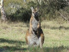 Macropus rufogriseus (dhobern) Tags: 2017 act australia diprotodontia macropodidae mammalia namadginationalpark october yankeehat macropusrufogriseus