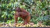 Nirvana! (tmeallen) Tags: orangutan baby pongopygmaeus endangeredspecies bananas feedingstation surroundedbyfood nirvana heaven tanjungputingnationalpark kalimantanprovince borneoisland indonesia