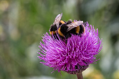 sisters in pollen (Francis Mansell) Tags: animal bee insect bumblebee flower bokeh dof depthoffield rhsrosemoor rosemoor garden pollen