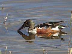 Shoveler (stephen.reynolds) Tags: shoveler duck water brandon marsh wkwt