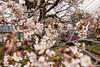 Tunel-Sakura-Kioto-Randen-40 (luisete) Tags: hanami japan randen túneldesakura tranvía tramway japón kioto kyoto