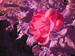 IMG_5903-roses (high_dynamic_mind) Tags: rose garden ir infrared full spectrum modified camera