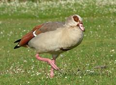 Egyptian Goose (Peanut1371) Tags: egyptian goose nationalgeographicwildlife